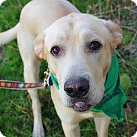 Labrador Retriever Mix Dog for adoption in Wilmington, Delaware - Chico