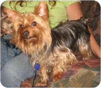 Yorkie, Yorkshire Terrier Dog for adoption in Conroe, Texas - Bailey