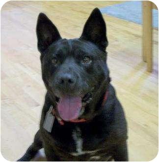 American Pit Bull Terrier Dog for adoption in Mtn Grove, Missouri - Midnight