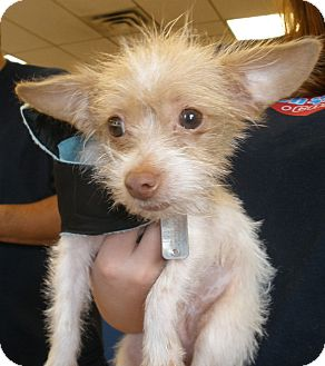 Adult jack mix russell yorkie