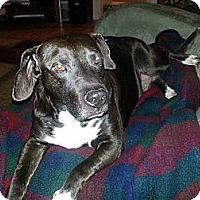 Adopt A Pet :: Bruno - Dearborn, MI