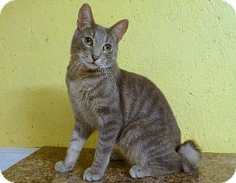 Domestic Shorthair Cat for adoption in Westville, Indiana - Corky