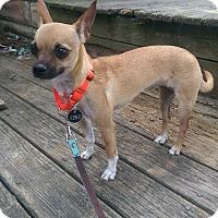 Adopt A Pet :: Lacey - Virginia Beach, VA