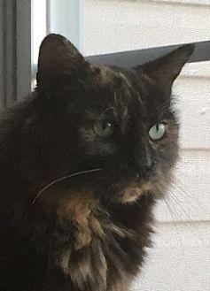 Domestic Mediumhair Cat for adoption in Bear, Delaware - Cali