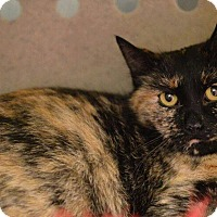 Domestic Shorthair Cat for adoption in Blasdell, New York - Dahlia