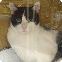 Domestic Shorthair Cat for adoption in Diamond Bar, California - JOY