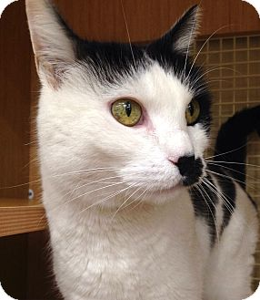 Domestic Shorthair Cat for adoption in Addison, Illinois - Reia