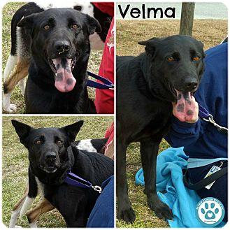 German Shepherd Dog Mix Dog for adoption in Kimberton, Pennsylvania - Velma