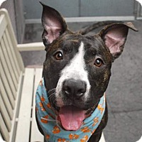 Pit Bull Terrier Mix Dog for adoption in New York, New York - Champ