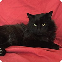 Domestic Longhair Cat for adoption in Asheville, North Carolina - Derby