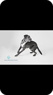 Chesapeake Bay Retriever Mix Dog for adoption in Mississauga, Ontario - Beau