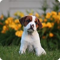 Adopt A Pet :: Zac - West Chicago, IL
