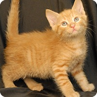 Domestic Shorthair Kitten for adoption in Newland, North Carolina - Penne