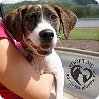 Adopt A Pet :: Sheva - Newport, KY