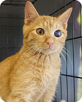 Domestic Shorthair Cat for adoption in Houston, Texas - Red