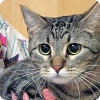 Domestic Shorthair Cat for adoption in Wildomar, California - Violet