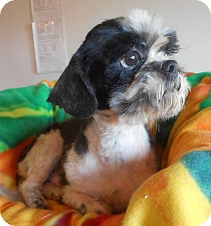 Shih Tzu Dog for adoption in Yucaipa, California - Cherkers