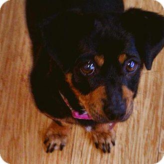 Dachshund Dog for adoption in Pittsburg, California - Harley Quinn
