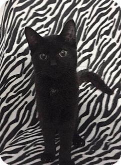 Domestic Shorthair Kitten for adoption in Davison, Michigan - Juniper