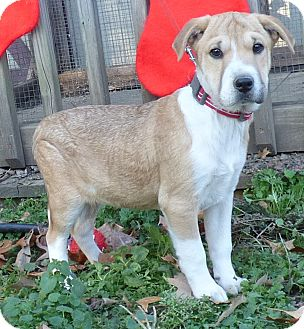 Boxer/Feist Mix Puppy for adoption in Bedminster, New Jersey - Prancer