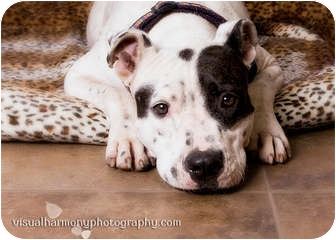 American Pit Bull Terrier/Dalmatian Mix Dog for adoption in Phoenix, Arizona - Twilight