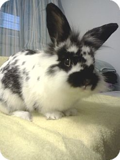 Lionhead Mix for adoption in Hillside, New Jersey - spike