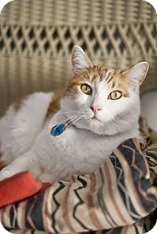 Domestic Shorthair Cat for adoption in Grand Rapids, Michigan - Wayne