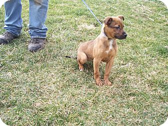 Boxer/Labrador Retriever Mix Puppy for adoption in Germantown, Maryland - Patty