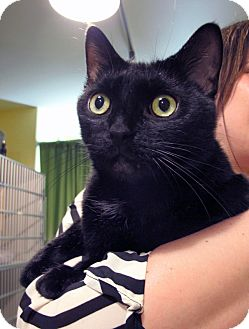American Shorthair Cat for adoption in New York, New York - Luna