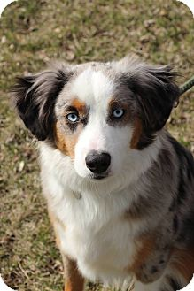 Australian Shepherd Mix Dog for adoption in Manitowoc, Wisconsin - Balu