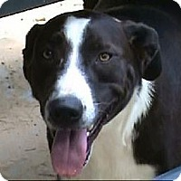 Border Collie Mix Dog for adoption in Tyler, Texas - AA-Katie