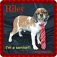 Adopt A Pet :: Riley - Plano, TX