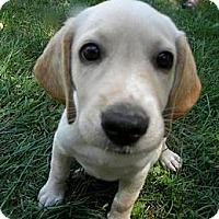 Adopt A Pet :: Calypso - Novi, MI