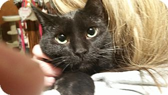 Domestic Shorthair Cat for adoption in Eastpointe, Michigan - Hope