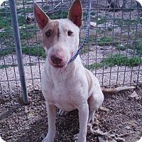 Adopt A Pet :: Rudolph - Los Angeles, CA