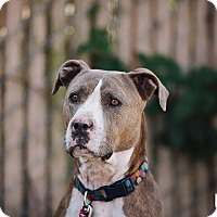 Adopt A Pet :: Daphne (foster) - Portland, OR