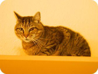 Domestic Shorthair Cat for adoption in Jupiter, Florida - Damon