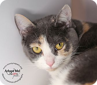 Domestic Shorthair Cat for adoption in Lyons, New York - Cindy