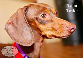 Dachshund Dog for adoption in Houston, Texas - Tami Taylor