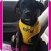 Labrador Retriever Mix Puppy for adoption in Elburn, Illinois - Adrian
