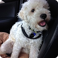Poodle (Miniature)/Terrier (Unknown Type, Small) Mix Dog for adoption in Santa Monica, California - Freddie