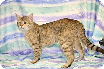 Domestic Shorthair Cat for adoption in Houston, Missouri - Prince