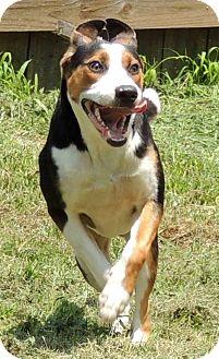 Hound (Unknown Type) Mix Dog for adoption in Joplin, Missouri - Buddy