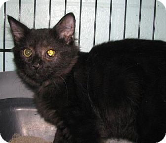 Domestic Shorthair Kitten for adoption in Las Cruces, New Mexico - Garibaldi