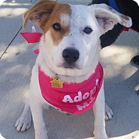 Adopt A Pet :: Shilo - Dallas, TX