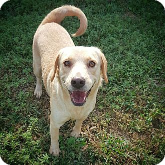 Labrador Retriever/Corgi Mix Dog for adoption in Fredericksburg, Texas - Molly