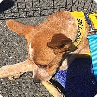 Adopt A Pet :: Tigger - Westwood, NJ