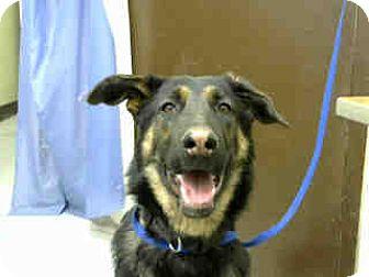 German Shepherd Dog Puppy for adoption in San Bernardino, California - URGENT on 11/23 BIG BEAR