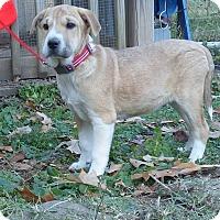 Adopt A Pet :: Prancer - Newburgh, NY