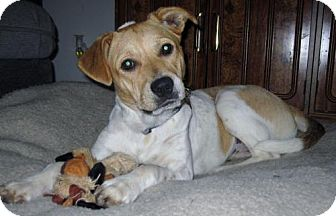 Beagle/Boxer Mix Dog for adoption in Grafton, Wisconsin - Kelly